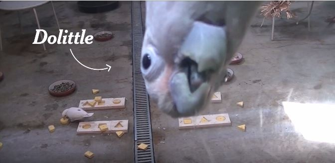 Cockatoos Rival Children in Shape Recognition